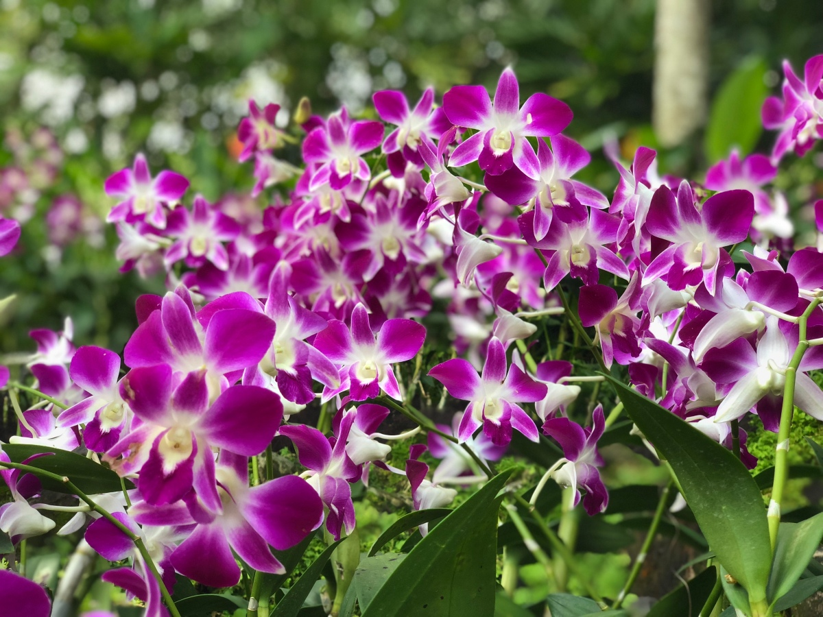 Singapore-National Orchid Garden a must visit for Orchid lovers!!!